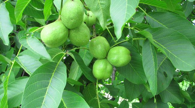 zielone orzechy